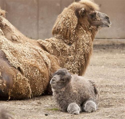 camello bebé